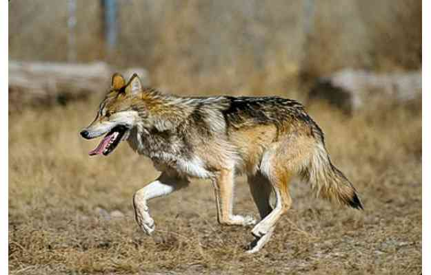 Mexican Gray Wolf by Jim Clark - http://www.everythingwolf.com/news/readarticle.aspx?article=168