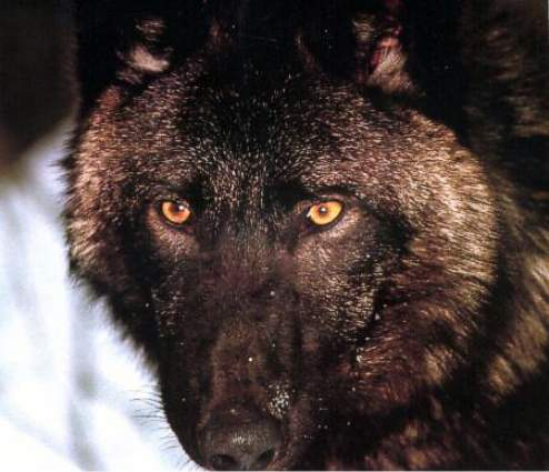 Wolf Coloring on Black Wolf Photo