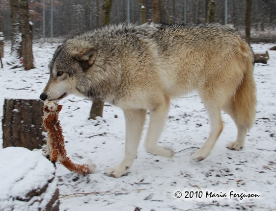 Wolf pictures, Christmas fox
