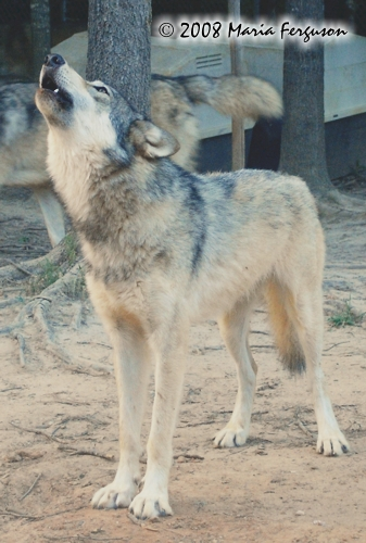 Wolf pictures, Full body Wolf Howl