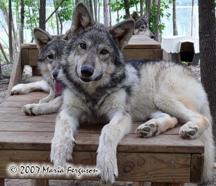 Wolf Pup 4 Months Old Picture