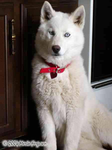 white husky 