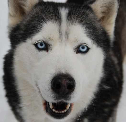 Husky Up Close And Personal