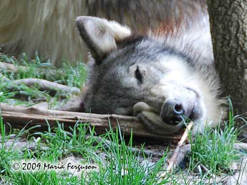 Wolf pictures, Funny Wolf picture
