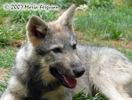 Nita, wolf pup picture 12 weeks old