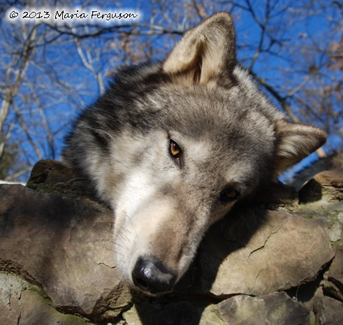 Wolf Head picture