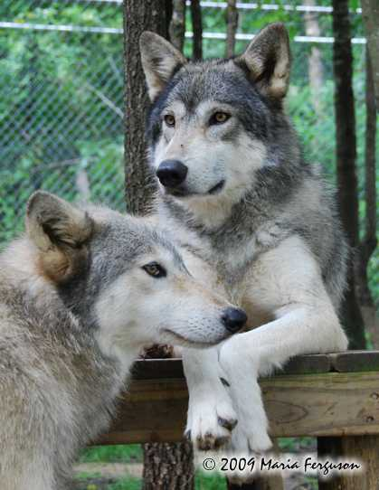 Wolf Pictures Pretty Girls