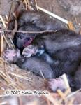 Wolf Pup dreaming picture Picture