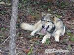 Our Wa-ta-Chee Wolf in the woods Picture