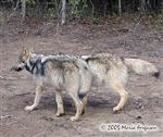 Our Wolves walking in new enclosure Picture
