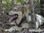 Wolf resting in the woods Picture