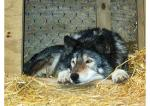 Timber Wolf Alpha Picture
