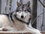 Handsome Wolf picture Picture