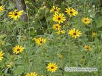 Black-eyed Susan Picture