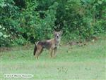Red Wolf, Canis Lupus at WHAP Picture