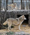 Wolf pictures, a new home Picture
