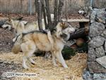 Wolf pictures, a new house Picture