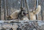 Wolf pictures, peeking Picture