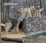 Wolf pictures, a new perch Picture