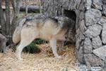 Wolf pictures, being brave Picture