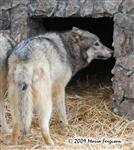 Wolf pictures, being cautious Picture