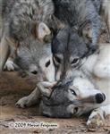 Wolf pictures, Chic Fight Picture