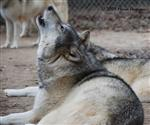 Wolf pictures, a howl Picture