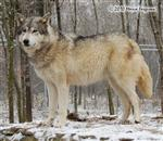 Large Female Wolf picture Picture