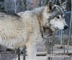Wolf pictures, she's a beauty Picture