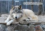 Wolf pictures, the stare Picture