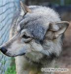 Wolf picture, picking up a scent Picture