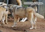 Wolf pictures, howling Picture