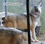 Wolf pictures, howling out Picture