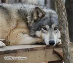 Wolf pictures, beautiful Wolf Girl Picture