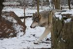 Wolf pictures, winter wonderland Picture