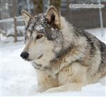Wolf pictures, Chito's snow day XII Picture