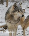 Wolf pictures, beauty Picture