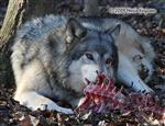 Wolf pictures, spine tingling