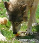 Wolf and Easter Egg picture Picture