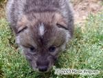 Wolf Pups at three weeks old picture Picture