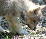 Wolf Pups territory picture Picture