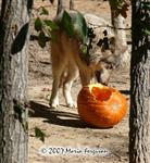 Wolf with pumpkin 2007 picture Picture