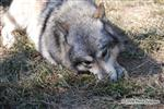 Wolf pictures, Wolf eating snake tail Picture