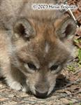 Wolf Pup sniffing picture Picture