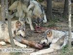Wolf pup pack dining picture Picture