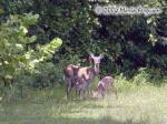Whitetail Doe with Fawns Picture