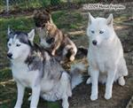 Huskies with rescue dog picture Picture