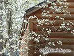 Spring Dogwood blooms Picture