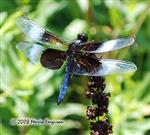 Widow Skimmer Picture