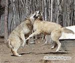 The Alpha Wolf rules picture Picture